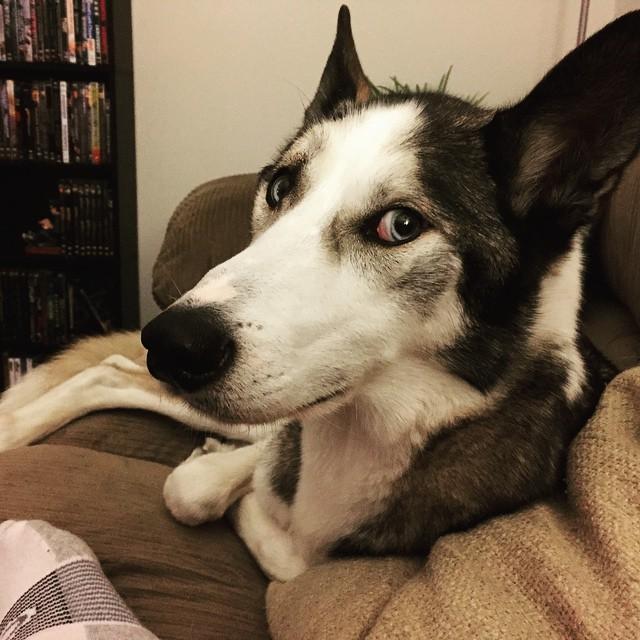 """15. """"Ну хорошо, да, я сегодня спал на диване"""". животные, милота, собаки, юмор"""