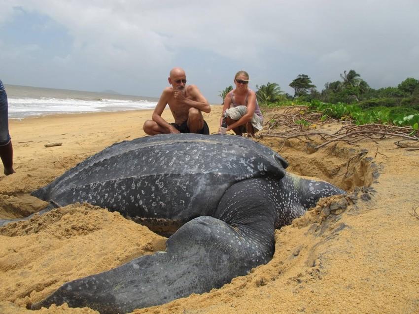Самая большая черепаха. животные, рекорды, самые большие животные