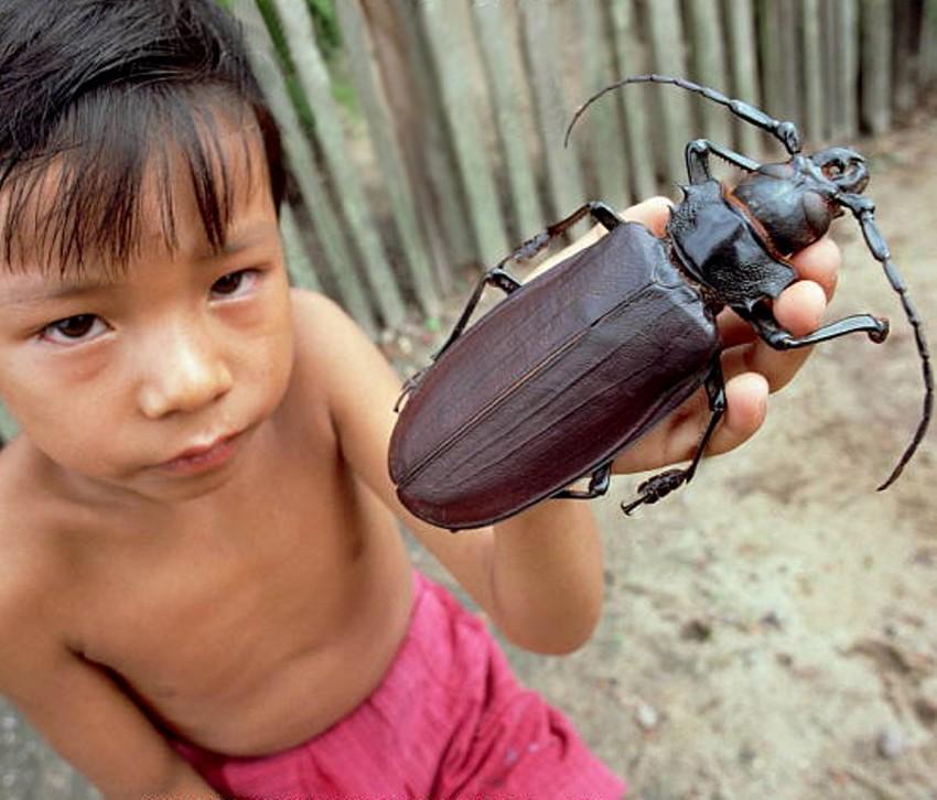Самый большой жук. животные, рекорды, самые большие животные