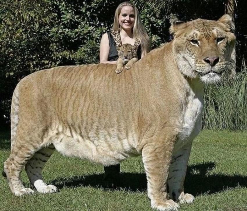 Самая большая кошка. животные, рекорды, самые большие животные