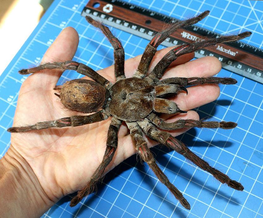 Самый большой паук. животные, рекорды, самые большие животные