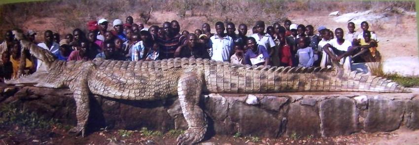Самый большой крокодил. животные, рекорды, самые большие животные