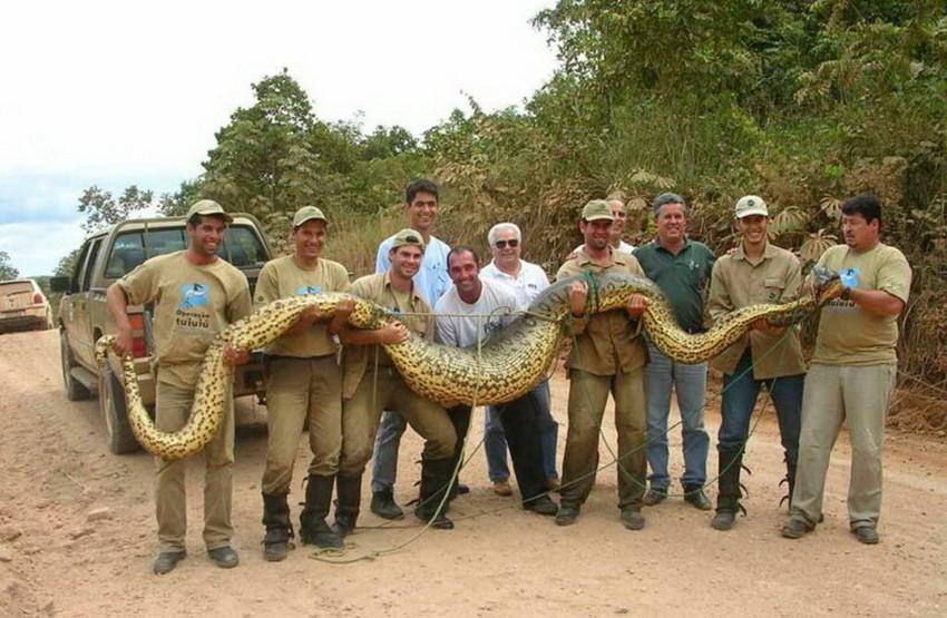 Самая большая змея. животные, рекорды, самые большие животные