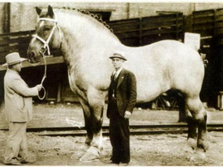 Самая большая лошадь. животные, рекорды, самые большие животные