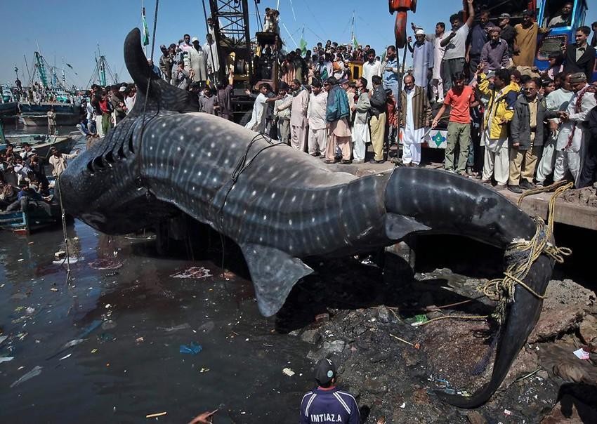 Самая большая акула. животные, рекорды, самые большие животные