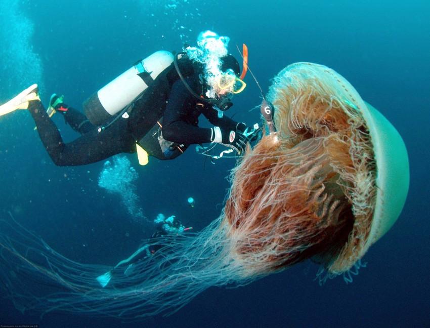 Самая большая медуза. животные, рекорды, самые большие животные