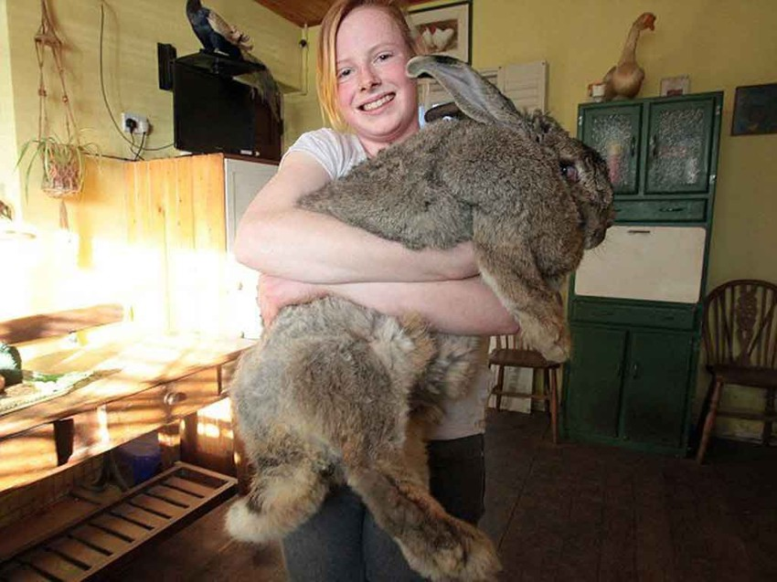 Самый большой кролик. животные, рекорды, самые большие животные