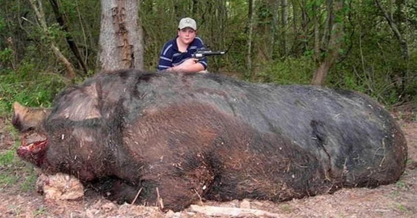 Самый большой дикий кабан. животные, рекорды, самые большие животные