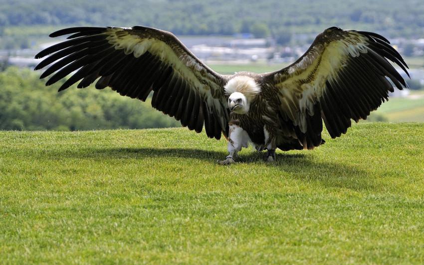 Самая большая летающая птица. животные, рекорды, самые большие животные