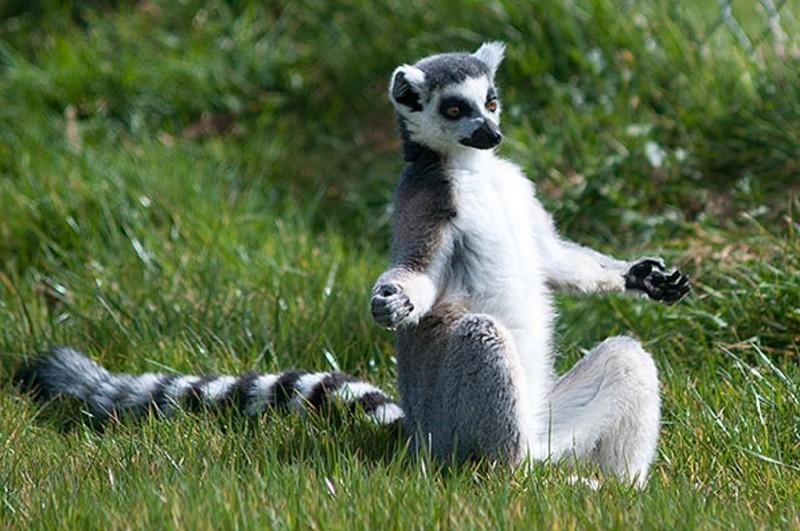 Животные, которым йога дается лучше, чем вам! животные, йога, милота, прикол, фото