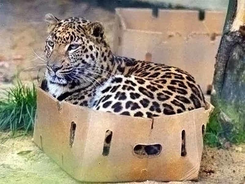 Начнём с того, что все кошки любят коробки дикие кошки, кошки, прикол, юмор