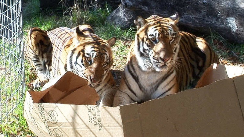 Как только кошачьи видят коробку, у них словно башню сносит дикие кошки, кошки, прикол, юмор