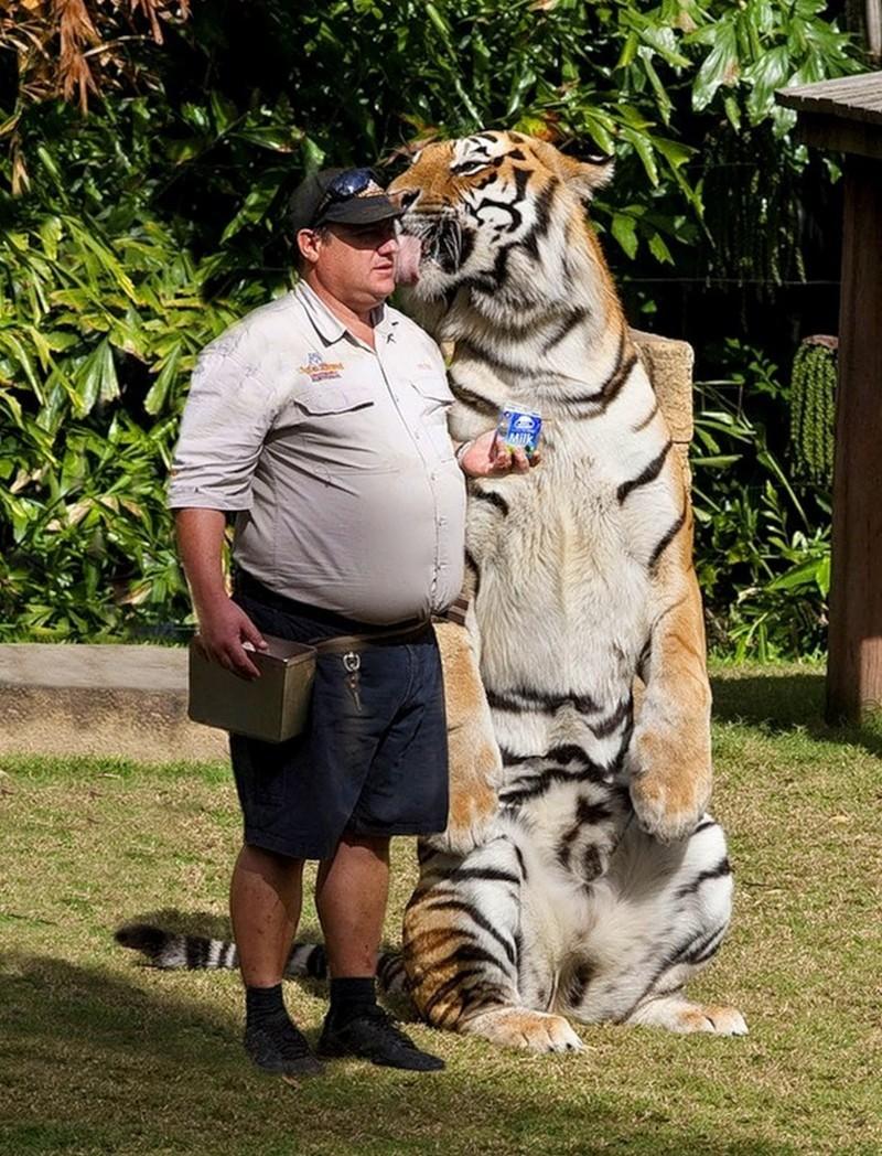Размер не имеет значения: кошки всегда остаются кошками дикие кошки, кошки, прикол, юмор