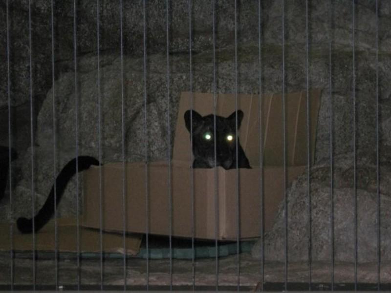 Им непременно нужно забраться в эту коробку дикие кошки, кошки, прикол, юмор