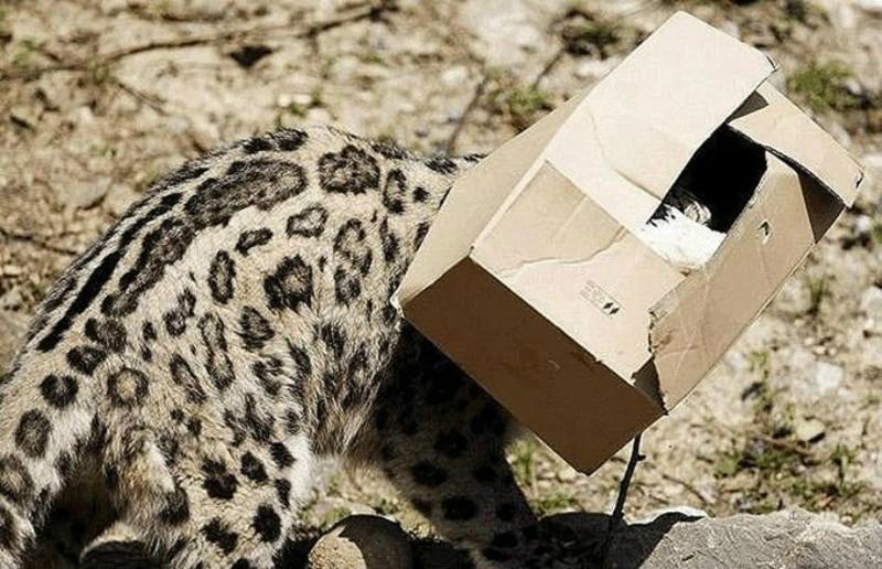 Причём забраться любыми способами. Девиз кошек: «если не влазишь в коробку, всё равно пытайся» дикие кошки, кошки, прикол, юмор