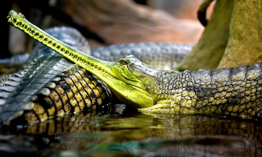 20. Гангский гавиал. животные, неизвестные животные, природа