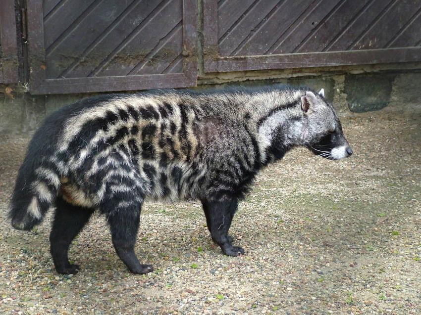 18. Африканская цивета. животные, неизвестные животные, природа