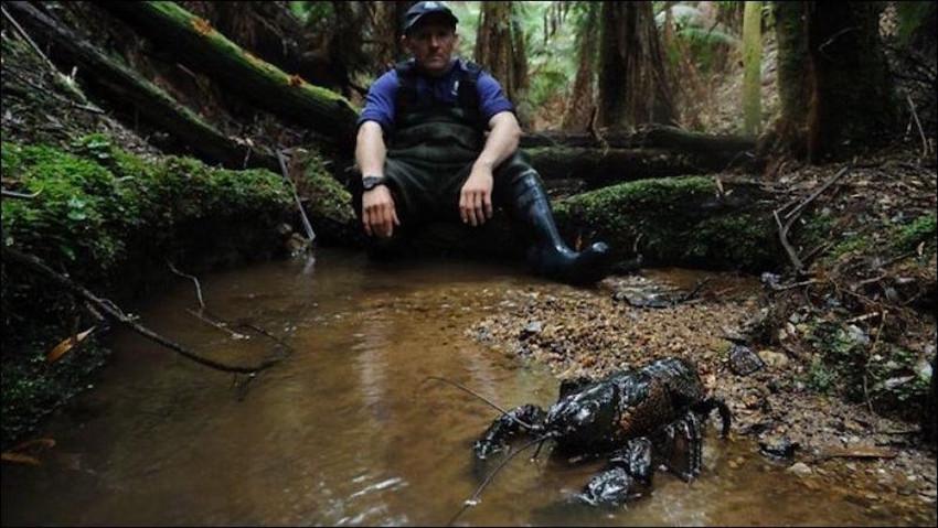 10. Гигантский тасманийский пресноводный рак. животные, неизвестные животные, природа