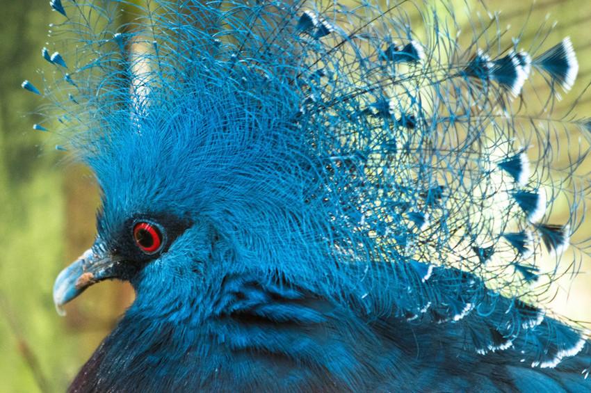 11. Веероносный венценосный голубь. животные, неизвестные животные, природа