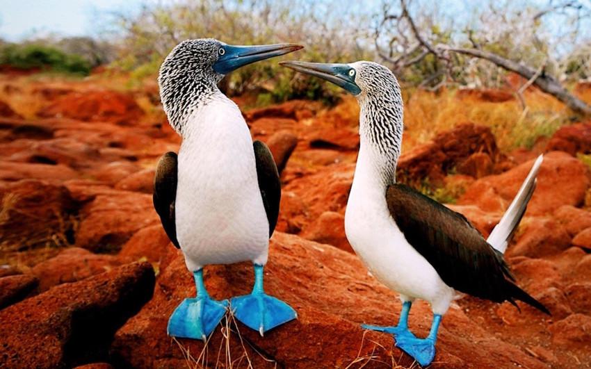 9. Голубоногая олуша. животные, неизвестные животные, природа