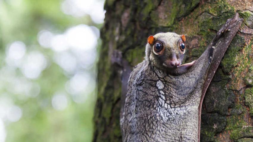 5. Малайский шерстокрыл. животные, неизвестные животные, природа