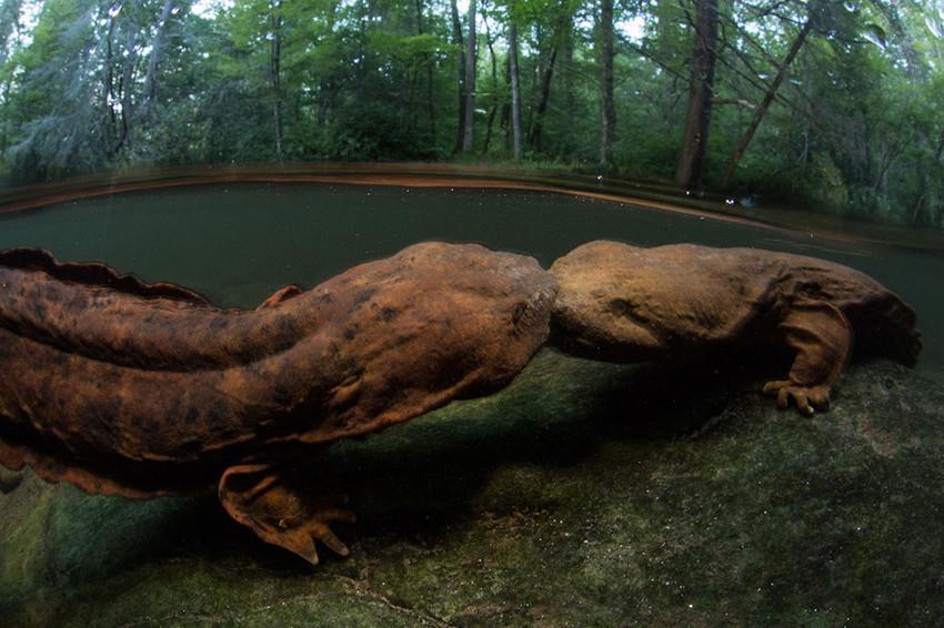 7. Аллеганский скрытожаберник. животные, неизвестные животные, природа