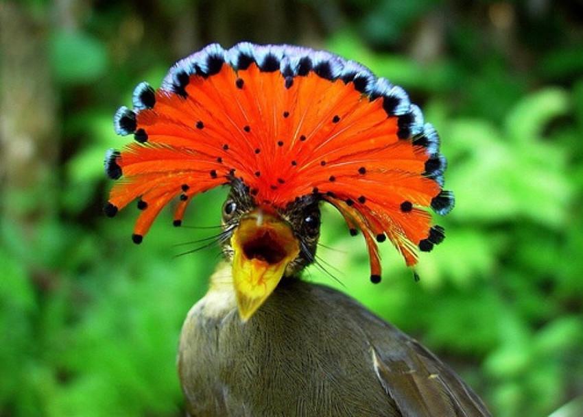 1. Амазонская королевская мухоловка. животные, неизвестные животные, природа