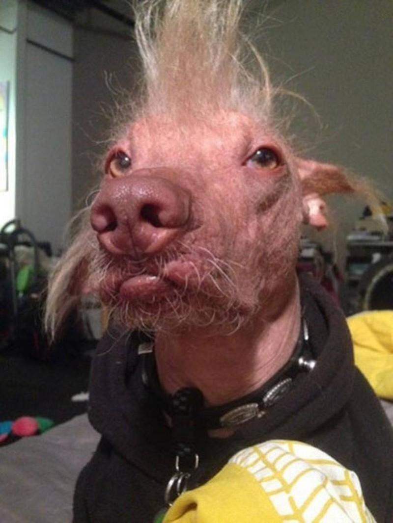 Самые уродливые собаки в мире, которых всё равно невозможно не любить конкурс, собаки