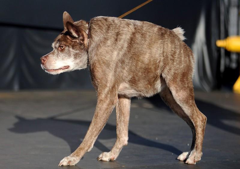 Голландская овчарка Квази Модо, родившаяся с дефектом позвоночника (слишком короткой спиной и полным отсутствием шеи). Победитель 2015 года. конкурс, собаки