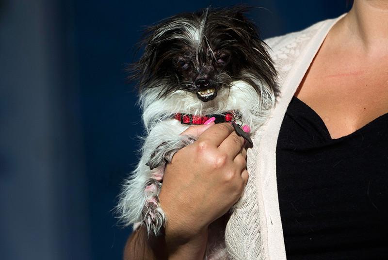 Победитель конкурса «Самый уродливый пес в мире» 2014 года, — помесь ши-тцу и чихуахуа. конкурс, собаки