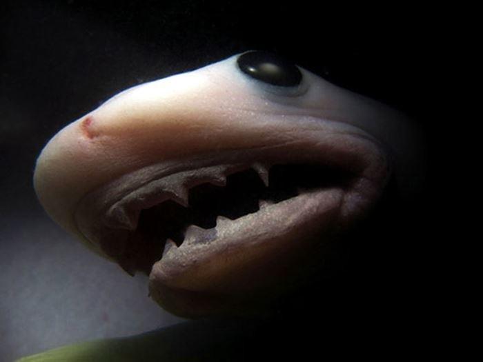 Тигровая акула детеныши, животные, фото