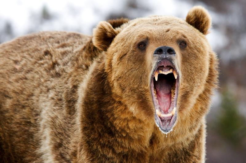 2. Медведь. животные, интересное, природа, суперспособности