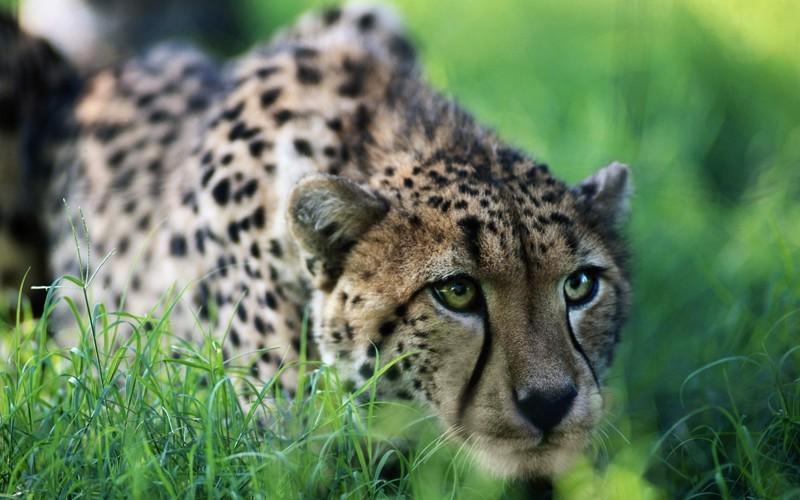 3. Гепард. животные, интересное, природа, суперспособности