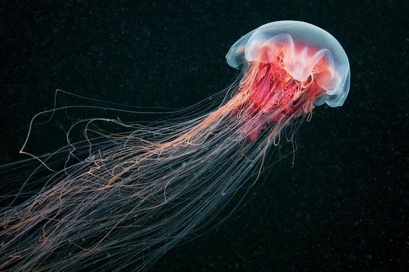 5. Медуза. животные, интересное, природа, суперспособности