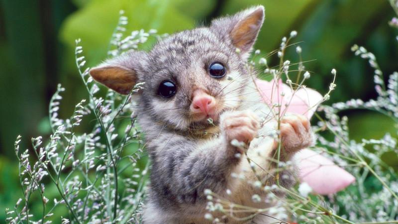 8. Опоссум. животные, интересное, природа, суперспособности