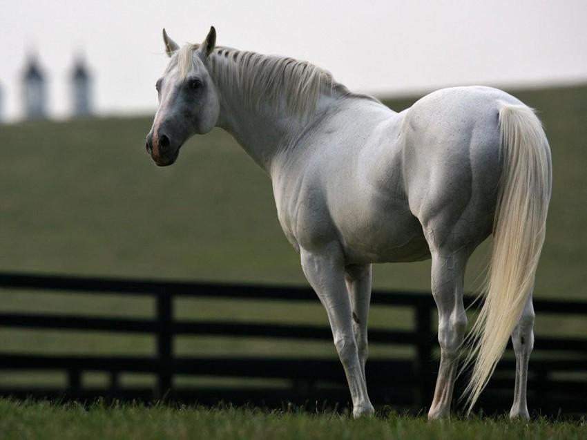 Лошадь (0,8) животные, интеллект, разум