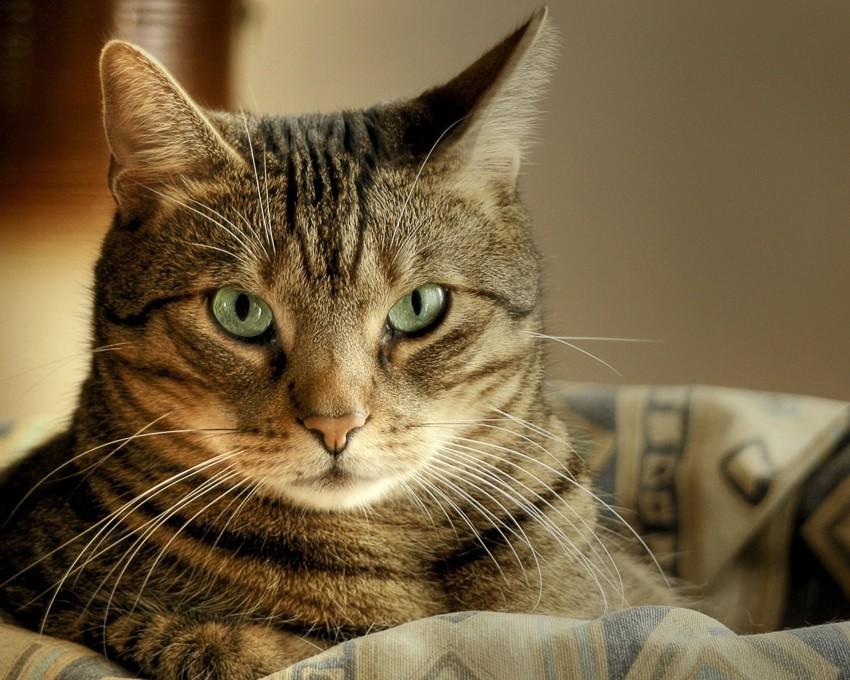 Кошка (0,9) животные, интеллект, разум