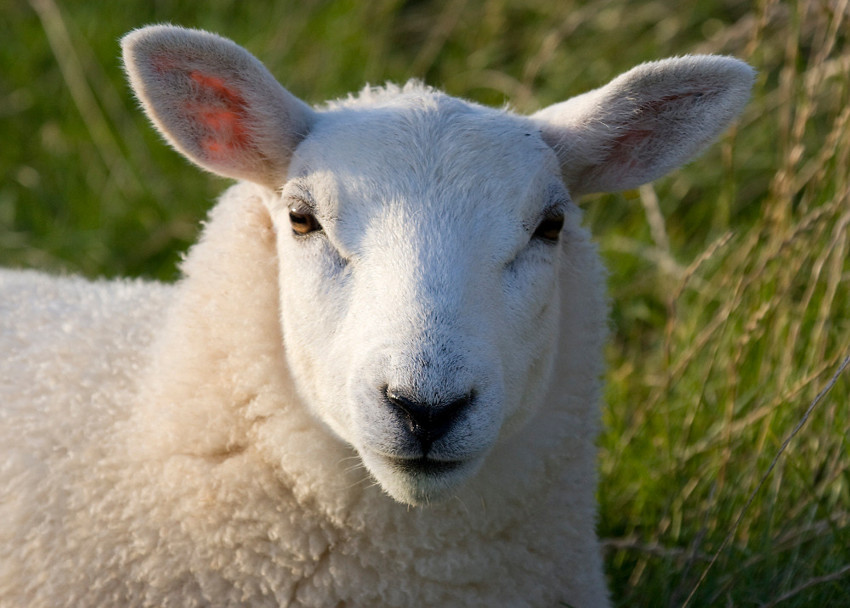 Овца (0,7) животные, интеллект, разум