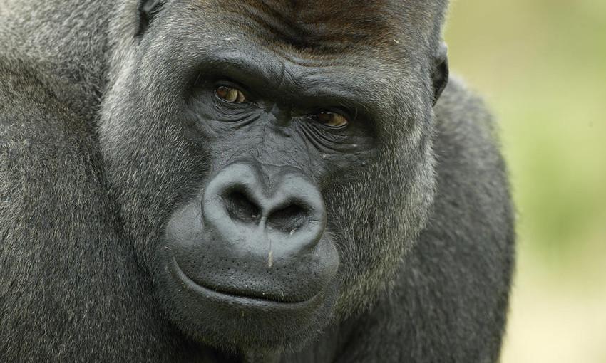 Горилла (1,6) животные, интеллект, разум