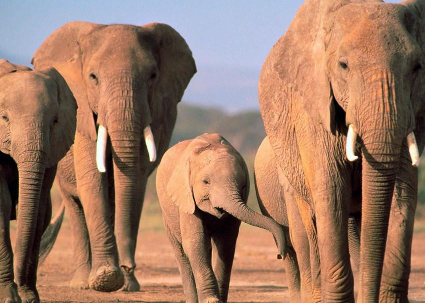 Африканский слон (1,4) животные, интеллект, разум