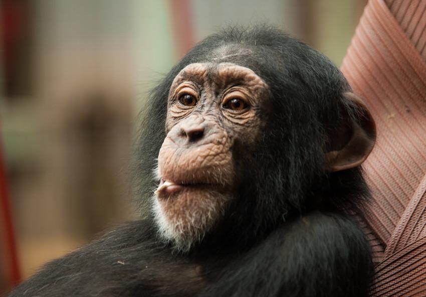 Шимпанзе (2,2) животные, интеллект, разум