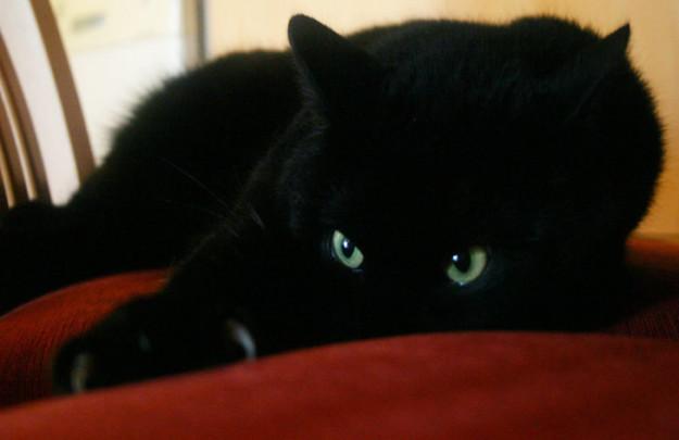 7. Эти изумрудные глаза горят огнем готовности рвать всех за своего кумира  драконология, драконы, коты, кто дайджест, черный кот