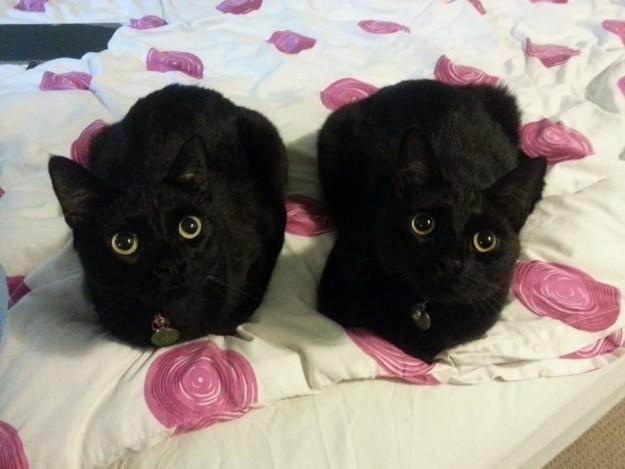 11. Просто у вас двоится в глазах драконология, драконы, коты, кто дайджест, черный кот