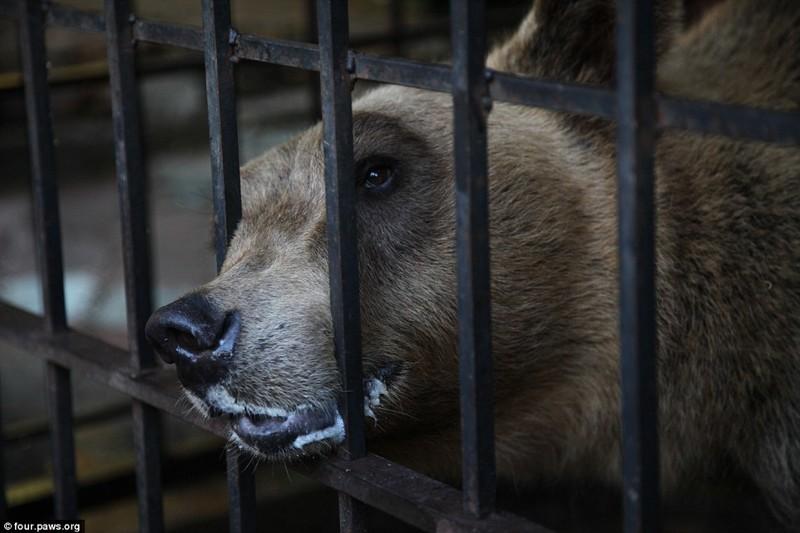Клетку Томи регулярно окружали толпы людей со смартфонами, жаждущие заснять медведя на видео или сделать с ним селфи албания, животные, защита животных, медведь
