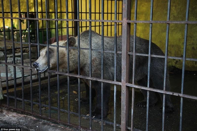 Два года назад Томи похитили из его родного дома в дикой природе и превратили в достопримечательность для туристов албания, животные, защита животных, медведь