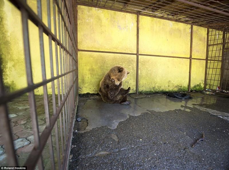 Томи был настолько подавлен, что начал заниматься самоповреждением – он сильно кусал себя за конечности, одновременно яростно мотая головой  албания, животные, защита животных, медведь