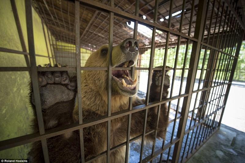 Пятилетний медведь провел два года в тесной клетке при ресторане к северу от столицы Албании албания, животные, защита животных, медведь