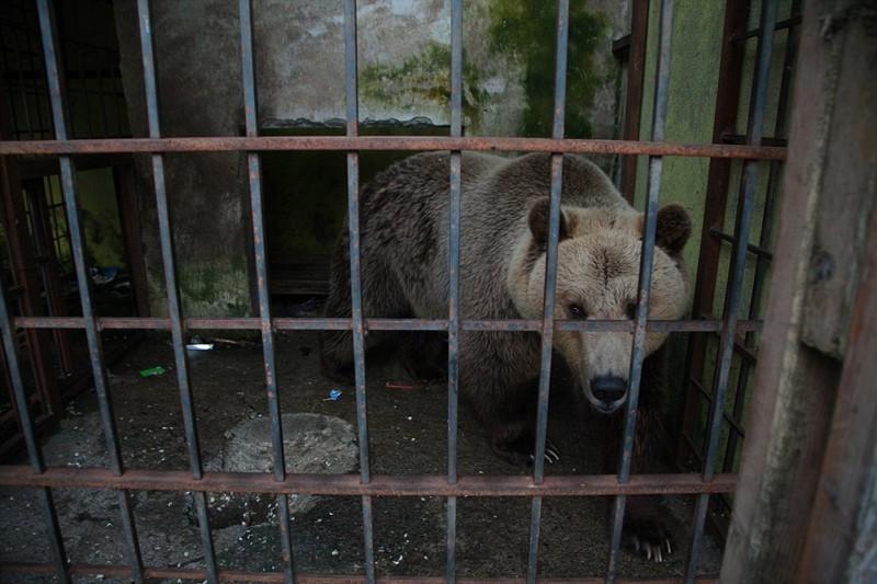 Иногда посетители ресторана подкармливали Томи пирожками, чипсами и другой вредной для него едой, «хозяин» же предпочитал поить медведя пивом албания, животные, защита животных, медведь