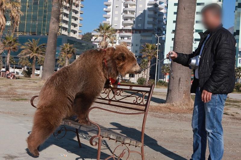 Например, та называемую «селфи-медведицу» по имени Джета хозяин всюду водит на цепи, прикрепленной к ее носу, и каждый рывок причиняет ей боль албания, животные, защита животных, медведь