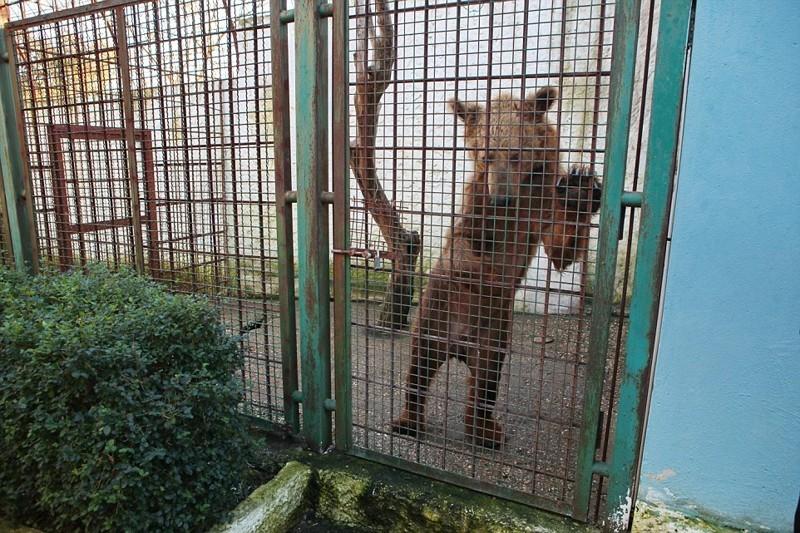 Этот бедняга тоже живет в крохотной клетке у ресторана, но уже в сафари-зоопарке в городе Фиер албания, животные, защита животных, медведь